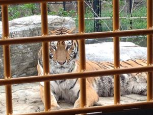 Close up of Tiger at Wild Animal Park
